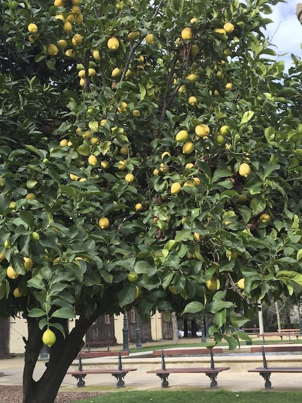 Citrus trees california Olive garden citrus heights ca
