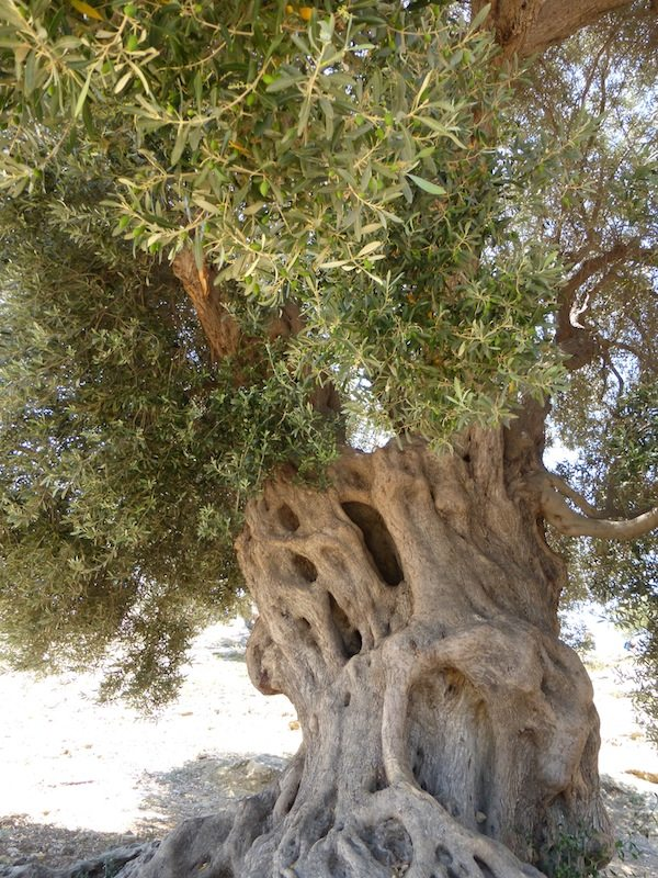 The Oldest Olive Tree…how do they know this as the trunk is hollow