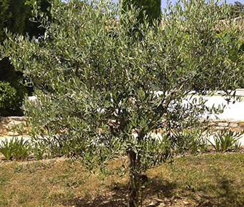 olives in market in provence | Olive Connection
