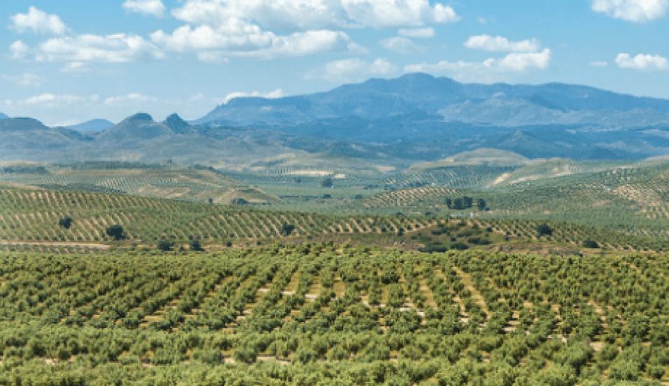castilla de canena olive grove